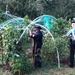 Cannabis km. 0, scoperte quattro piantagioni