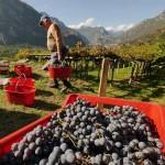 Carema non rinuncia alla Festa dell'Uva e del Vino