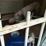 Chiusi sul balcone senza acqua nè cibo salvati 10 cani 2