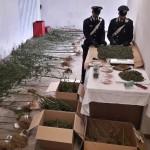Coltiva piante di marijuana nei boschi di Meugliano