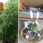 Coltivava le piante di luppolo per il figlio ma era marijuana