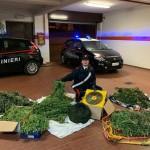 Coltivavano marijuana in un area di un maneggio