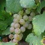 Confagricoltura Piemonte per il vino giorni decisivi, fare bene e in fretta