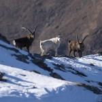 In Val di Susa confermata la presenza di uno stambecco bianco