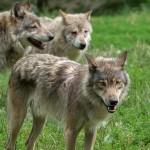 Le analisi genetiche diranno se quello trovato in riva al Chiusella era un lupo