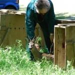 Liberati al Lago Pistono i piccoli caprioli curati al CANC di Grugliasco