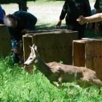 Liberati al Lago Pistono i piccoli caprioli curati al CANC di Grugliasco 2