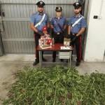 Lite tra vicini ma i Carabinieri trovano piante di cannabis