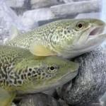 Nel PNGP in funzione l'incubatoio ittico per il ritorno della trota marmorata