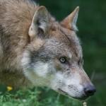 Ovini predati nel Chivassese confermata la presenza di una lupa