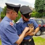 Salvato un cucciolo di capriolo