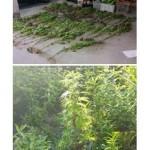 Scoperta e distrutta piantagione di cannabis
