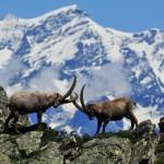 Soddisfazione del Parco Gran Paradiso per il DDL sulle aree protette