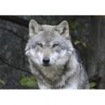Uccisa con  un'arma da fuoco la lupa trovata morta nei boschi di San Martino