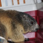 Una marmotta nel vano motore del camper