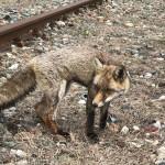 Una volpe in cattive condizioni recuperata allo scalo ferroviario di Chivasso