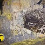 Valsavarenche, schiuso l'uovo del gipeto in diretta webcam