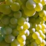 Vendemmia uve sane, qualità ottima, quantità inferiore alle previsioni di un mese fa